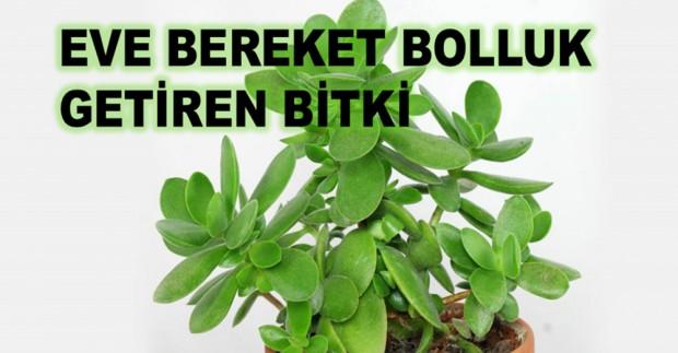 123114-eve-bereket-bolluk-getiren-bitki_d620-1.jpg