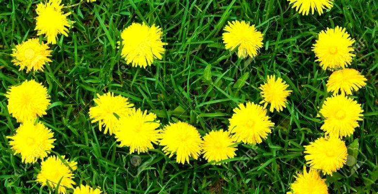 karahindiba-bitkisi-nedir-faydalari-nelerdir-780x400.jpg